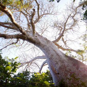 """Baobab Crab Tree"" | Tanzania"